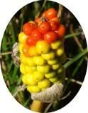 Fruto do Jarro-dos-campos // Italian Lords-and-Ladies fruit (Arum italicum)