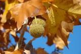 Plátano: Folhas e Frutos // Oriental Plane Tree: leaves and seedballs (Platanus orientalis)