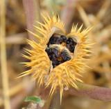 Fruto do Estramónio ou Figueira-do-inferno // Jimsonweed fruit (Datura stramonium)