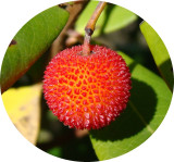 Medronho // Strawberry Tree: Fruit (Arbutus unedo)