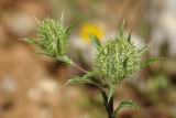 Cardo-coroado (Atractylis cancellata)