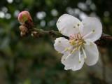Flor do Pilriteiro // Oneseed Hawthorn flower (Crataegus monogyna)