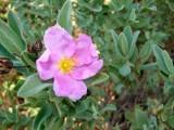Roselha-grande // White-leaved Rock Rose (Cistus albidus)
