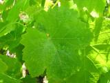 Parra da Uva // Wine Grape: Leaves (Vitis vinifera)