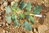 Estramónio ou Figueira-do-inferno: flor, fruto e folhas // Jimsonweed: Flower, fruit and leaves (Datura stramonium)