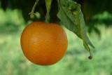Clementina // Clementine (Citrus reticulata)