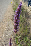 Flor do campo // Wildflower (Nepeta tuberosa)