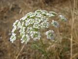 Pé-de-burrico-dos-cabelos ou Trangulho-dos-cabelos (Conopodium capillifolium)