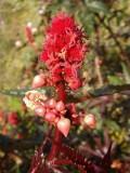 Rícino ou Carrapateiro // Castorbean (Ricinus communis)