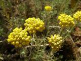 Perpétua-das-areias // Curry Plant (Helichrysum stoechas)