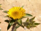 Pampilho-espinhoso // Starwort (Pallenis spinosa)