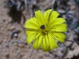Olho-de-mocho // European Umbrella Milkwort (Tolpis barbata)