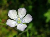 Linho-comum // Pale Flax (Linum bienne)