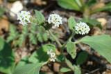 Erva-das-verrugas // European Heliotrope (Heliotropium europaeum)