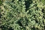 Verbasco-ondeado // Wavyleaf Mullein (Verbascum sinuatum)