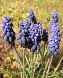 Grape Hyacinth (Muscari neglectum)