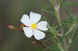 Esteva-das-areias // Wildflower (Cistus libanotis)