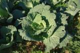 Couve // Cabbage (Brassica oleracea)