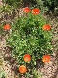 Papoilas // Corn Poppy (Papaver rhoeas)