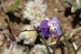 Esporão ou Linária-de-cor-de-ametista // Toadflax (Linaria amethystea)