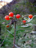 Frutos do Trovisco // Flax-leaved Daphne (Daphne gnidium)