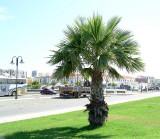 Palmeira // Palm tree