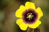 Tuberária-mosqueada // Spotted Rockrose (Xolantha guttata)