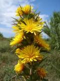 Cardo-de-ouro ou Cangarinha // Common Goldenthistle (Scolymus hispanicus)