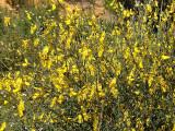 Giesteira // Weaver's Broom (Spartium junceum)