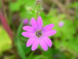 Bico-de-pomba-menor // Dovefoot Geranium (Geranium molle)