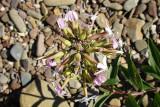 Erva-saboeira ou Saponária // Soapwort (Saponaria officinalis)