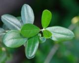 Zambujeiro // Wild Olive (Olea europaea subsp. sylvestris)