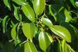 Fico-chorão // Weeping Fig (Ficus benjamina)