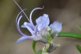Flor do Alecrim // Rosemary (Rosmarinus officinalis)