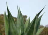 Piteira // American Agave (Agave americana)