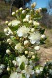 Murta // Common Myrtle (Myrtus communis)