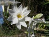 Narciso // Paperwhite Narcissus (Narcissus papyraceus)
