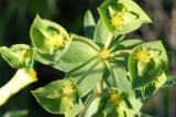 Morganheira-das-praias // Geraldton Carnation Weed (Euphorbia terracina)