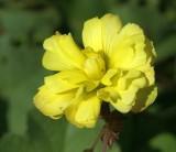 Azedas // Bermuda Buttercup (Oxalis pes-caprae), Double Mutation