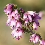 Urze-vermelha // Mediterranean-type Shrub (Erica australis)