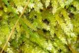 Musgo // Moss (Sphagnum sp.)