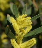 Acácia-de-espigas // Sydney Golden Wattle (Acacia longifolia)