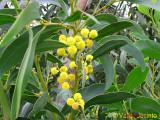 Acácia // Golden Wreath Wattle (Acacia saligna)