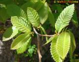Folhas de Castanheiro // Sweet Chestnut leaves (Castanea sativa)