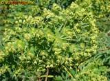Titímalo-de-Monchique (Euphorbia monchiquensis)