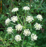 Embude; Canafreicha; Rabaças // Hemlock Water Dropwort (Oenanthe crocata)