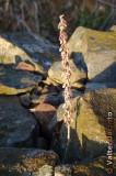 Conchelos // Pennywort (Umbilicus rupestris)