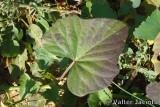 Folha da Batata Doce // Sweet Potato leaf (Ipomoea batatas)