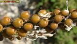Abrótea-da-primavera // White Asphodel (Asphodelus albus)