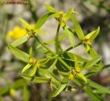Morganheira-bética (Euphorbia boetica)